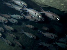 Biologie: Wie Lichtrezeptoren das Verhalten von Blitzlichtfischen steuern.